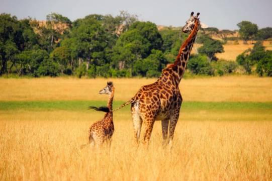 Родившегося во время пандемии на Бали жирафа назвали Корона