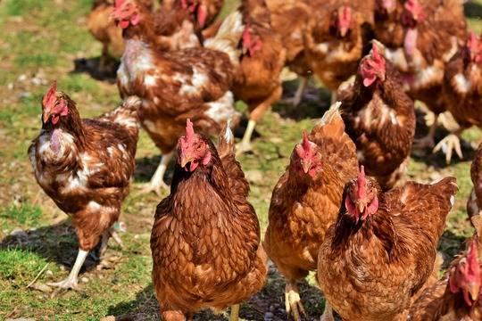 Вирусолог оценил риск эпидемии птичьего гриппа среди людей