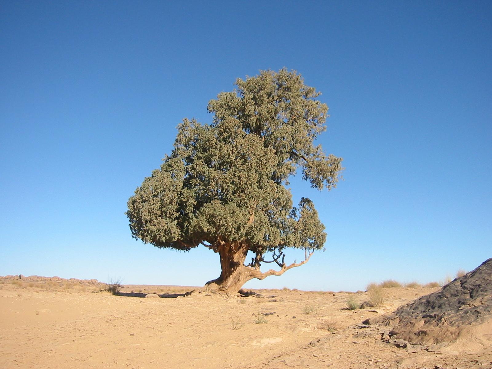 Компьютер насчитал в пустынях Сахара и Сахель 1,8 млрд деревьев