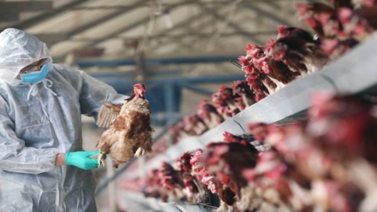 В Индии впервые от птичьего гриппа погиб человек