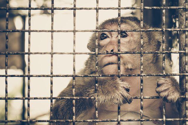 Новая «Планета обезьян». В Швейцарии пройдет референдум о правах шимпанзе