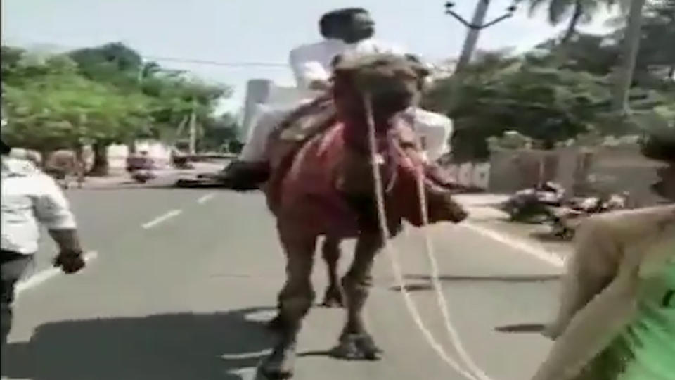 В Индии политик сменил авто на верблюда из-за роста цен на топливо