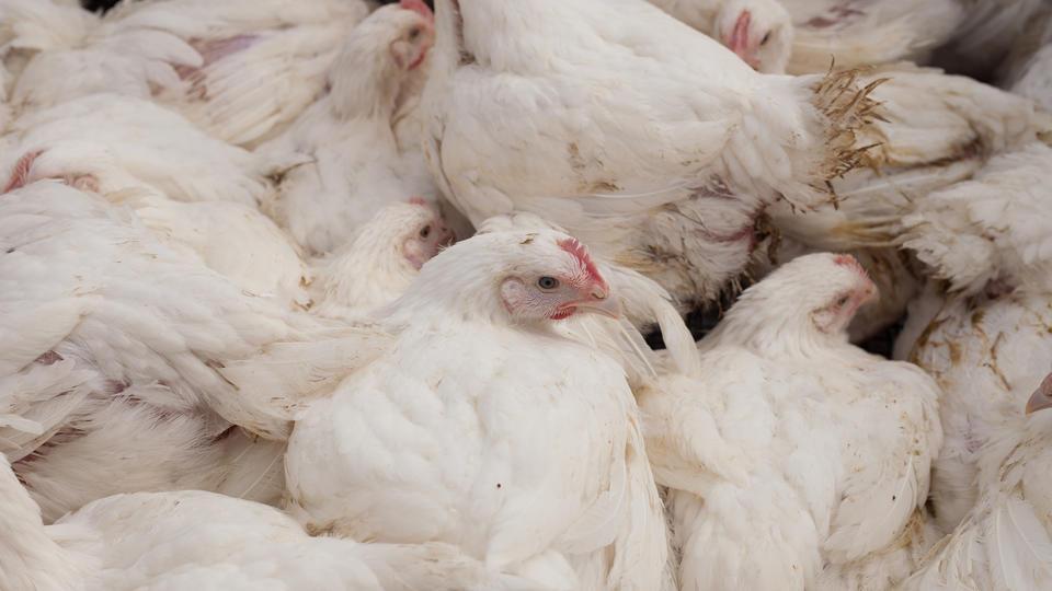 ВОЗ изучит данные о заражении россиян птичьим гриппом