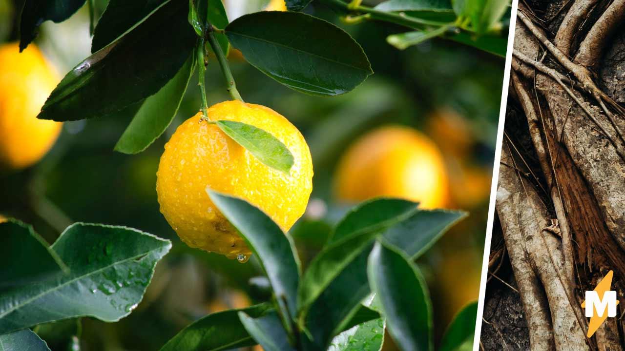 Садовод собрал урожай лимонов, а среди них — плод-мутант. Так вот как выглядит дитя любви перца чили и цитруса
