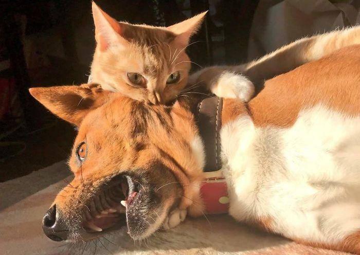 10 особо опасных котов, которые даже самой большой собаке покажут, где её место